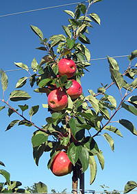 SweeTango Apples